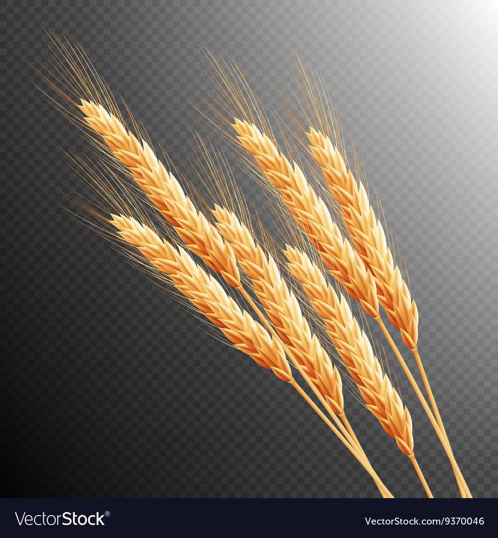 Wheat ears isolated EPS 10