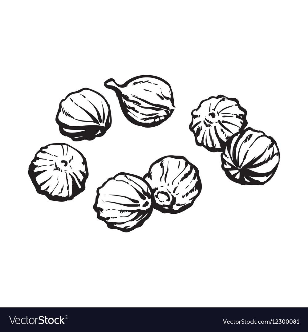 Coriander seeds sketch style