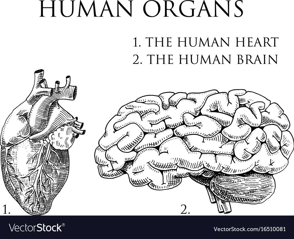 Human Biology Organs Anatomy Royalty Free Vector Image