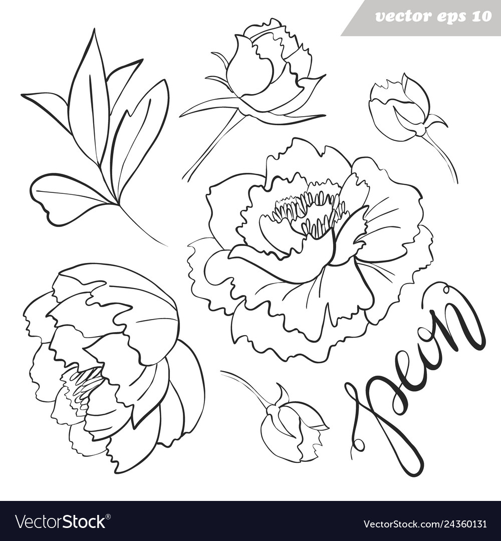 Peony flowers buds leaves outlined set