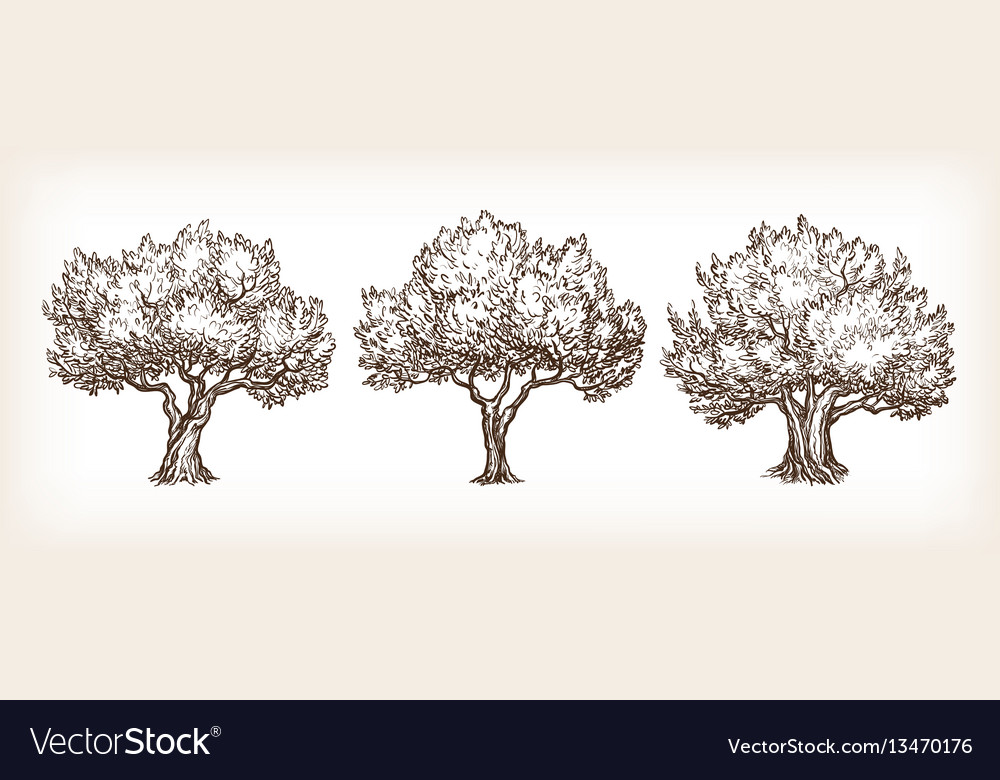 Sketch set of olive trees vector image