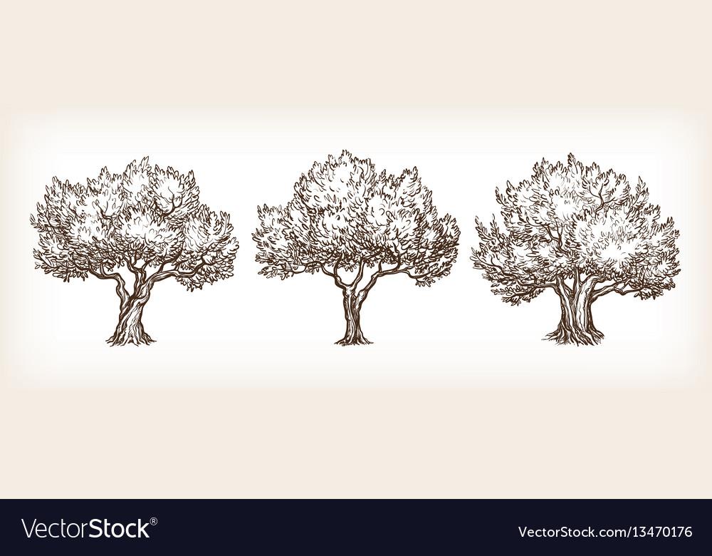 Sketch set olive trees