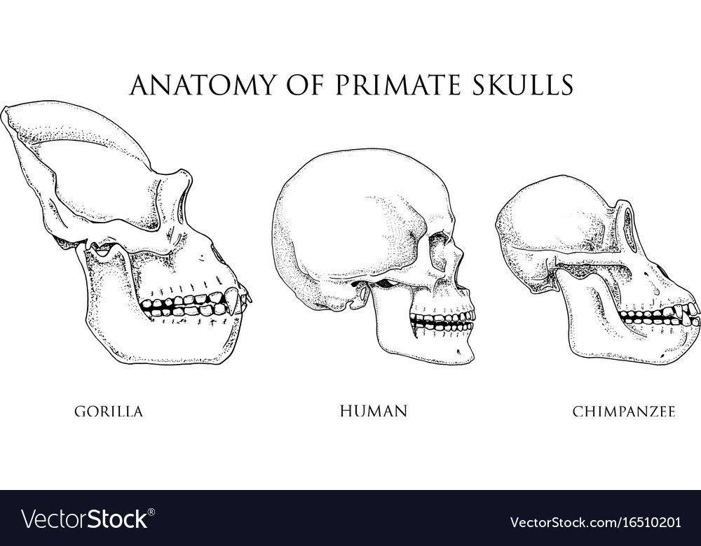 Human And Chimpanzee Gorilla Biology And Anatomy Vector Image