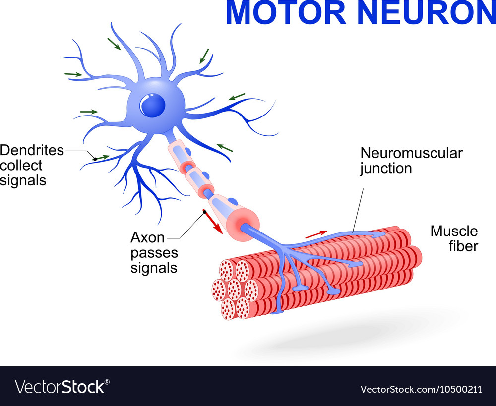 What is a motor neuron