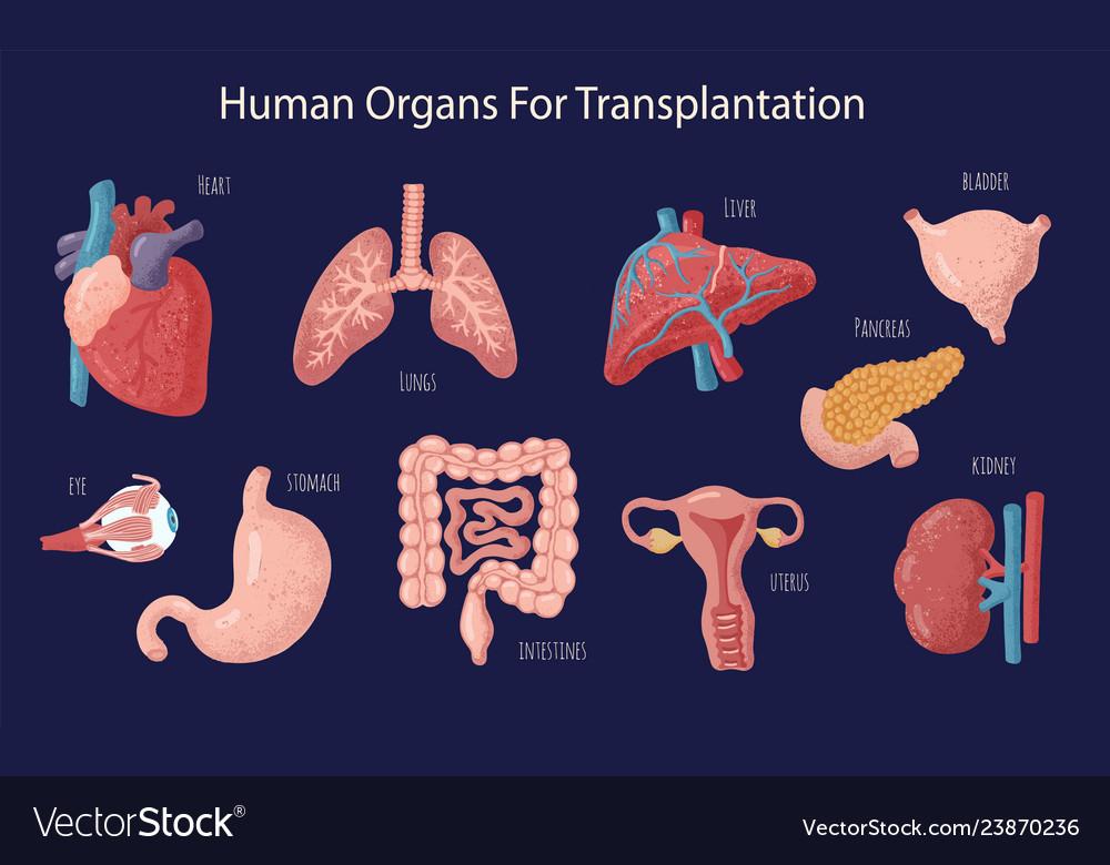 Set of human internal organs for transplantation