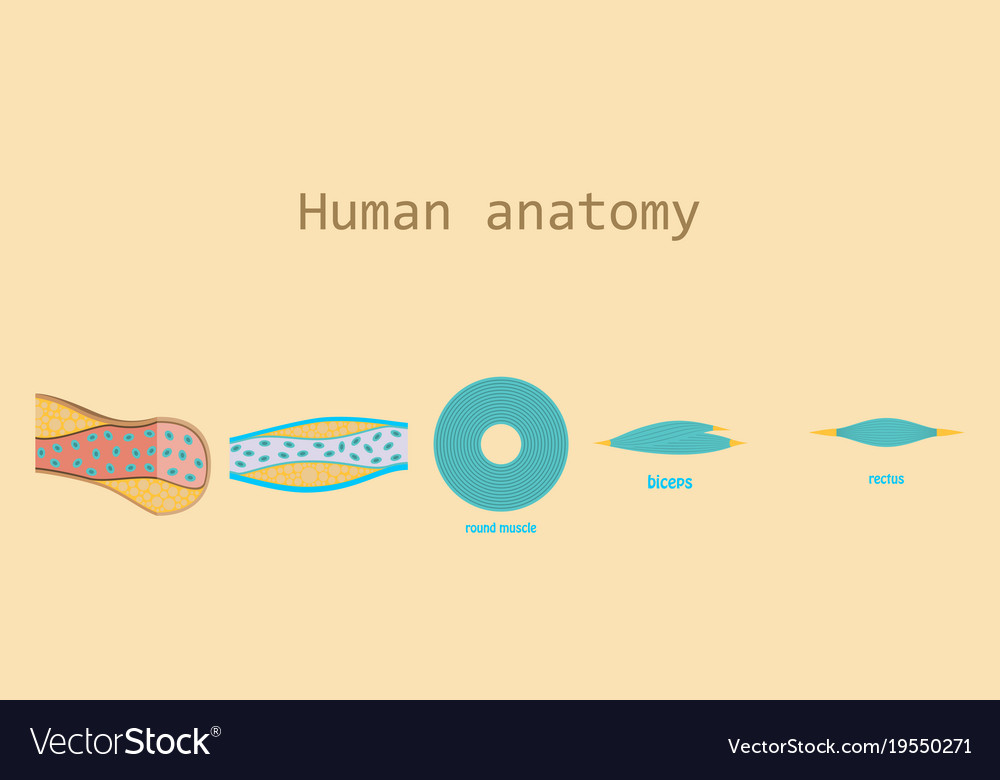 Types of muscle tissue of human body diagram vector image ccuart Images