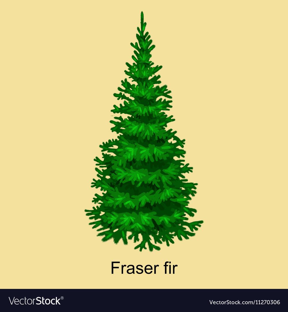 Frasier Fir Christmas Tree.Christmas Tree Like Fraser Fir For New Year