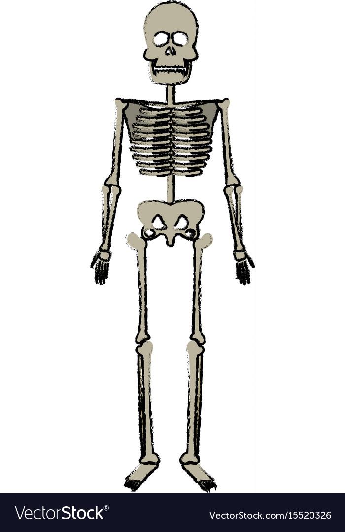 Skeleton human bones skull body medicine Vector Image