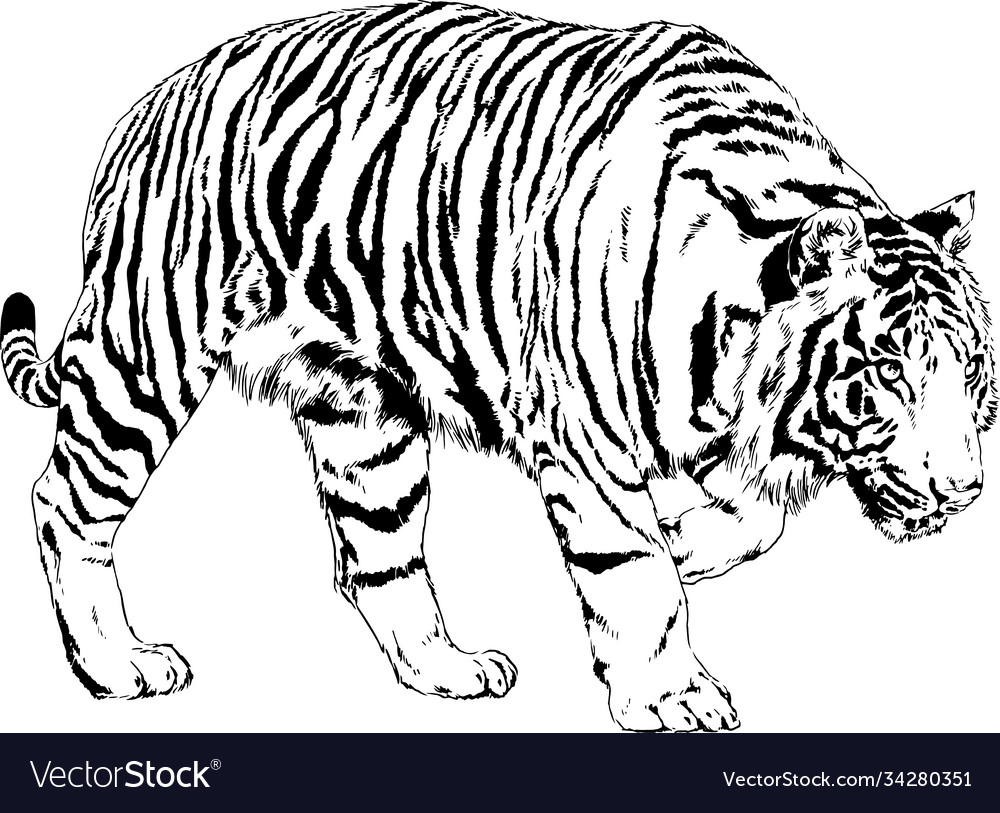 Big tiger painted ink from hands in full growth