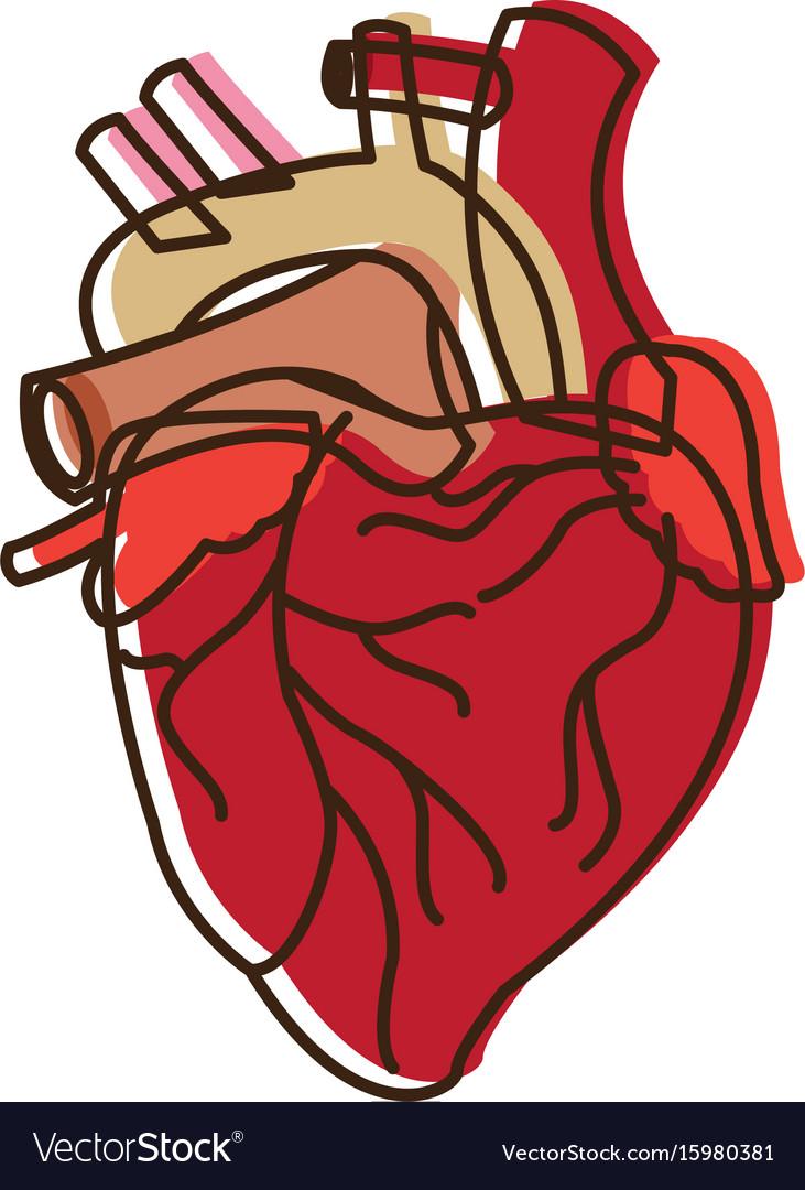Human heart medical anatomical artery Royalty Free Vector