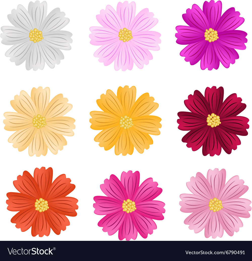 9 Assorted Cosmos Flowers On White Background Vector Image