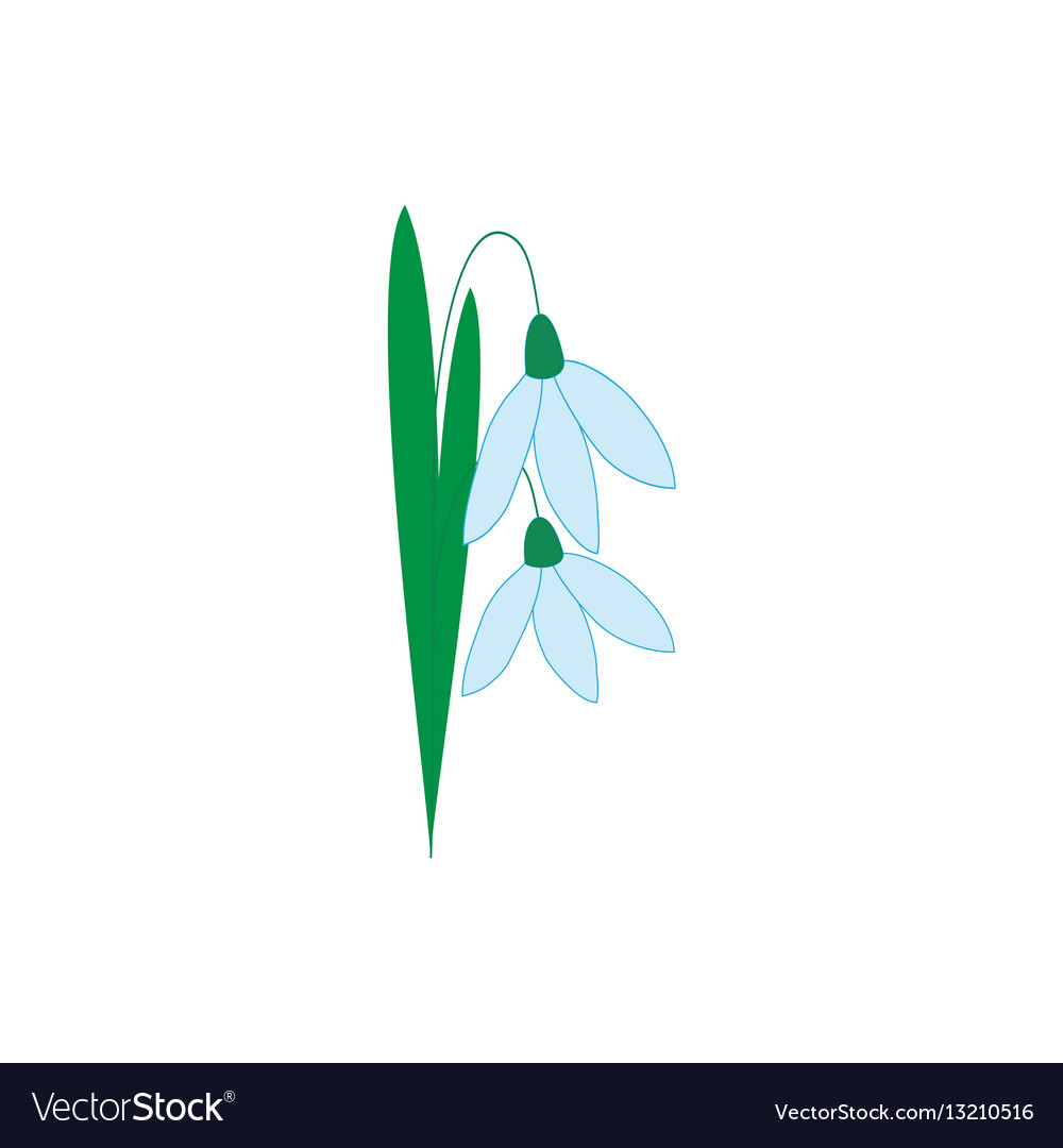 Snowdrop flower isolated