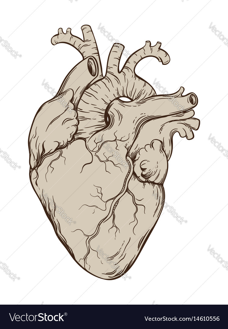 Hand drawn anatomically correct human heart vector image