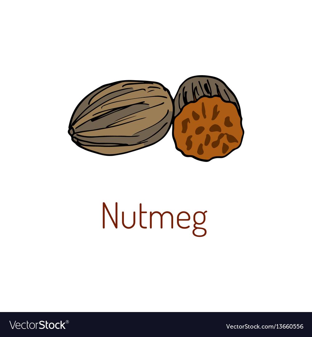Kitchen spices nutmeg hand drawn