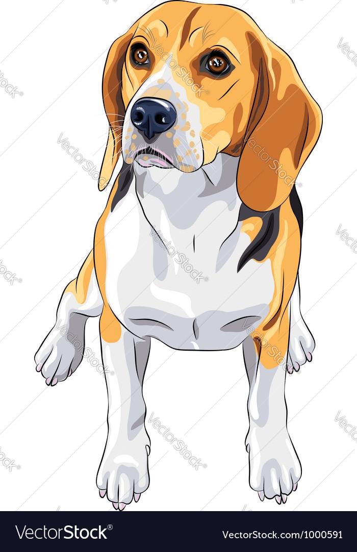 Sketch dog Beagle breed sitting vector image