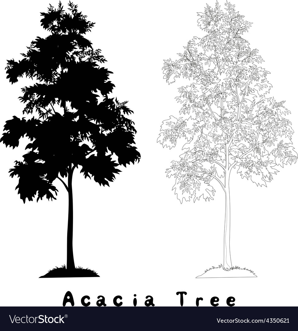 Acacia tree silhouette contours and inscriptions vector image