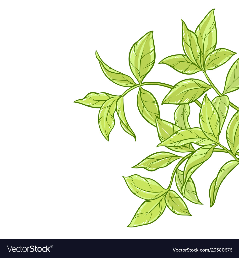 Green Tea Leaves On White Background Royalty Free Vector