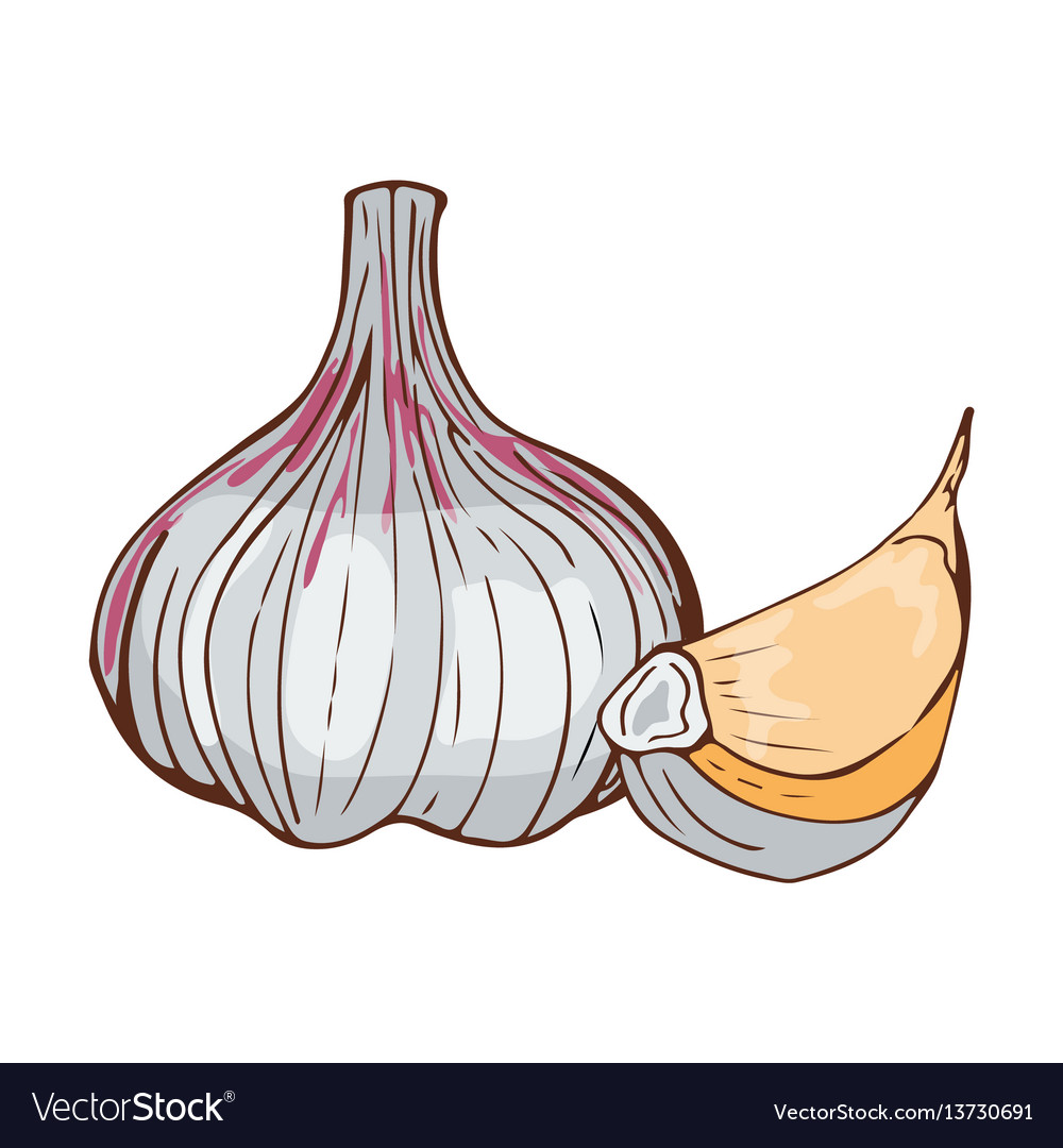 Fresh garlic bulb seasoning hand drawn style food vector image