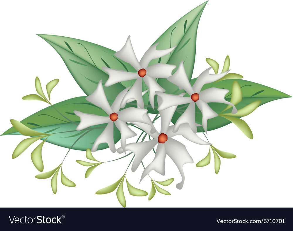 Beautiful night blooming jasmine on white backgrou beautiful night blooming jasmine on white backgrou vector image izmirmasajfo