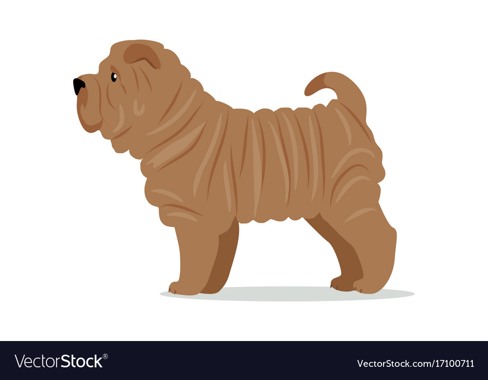 Shar pei in stand on white background