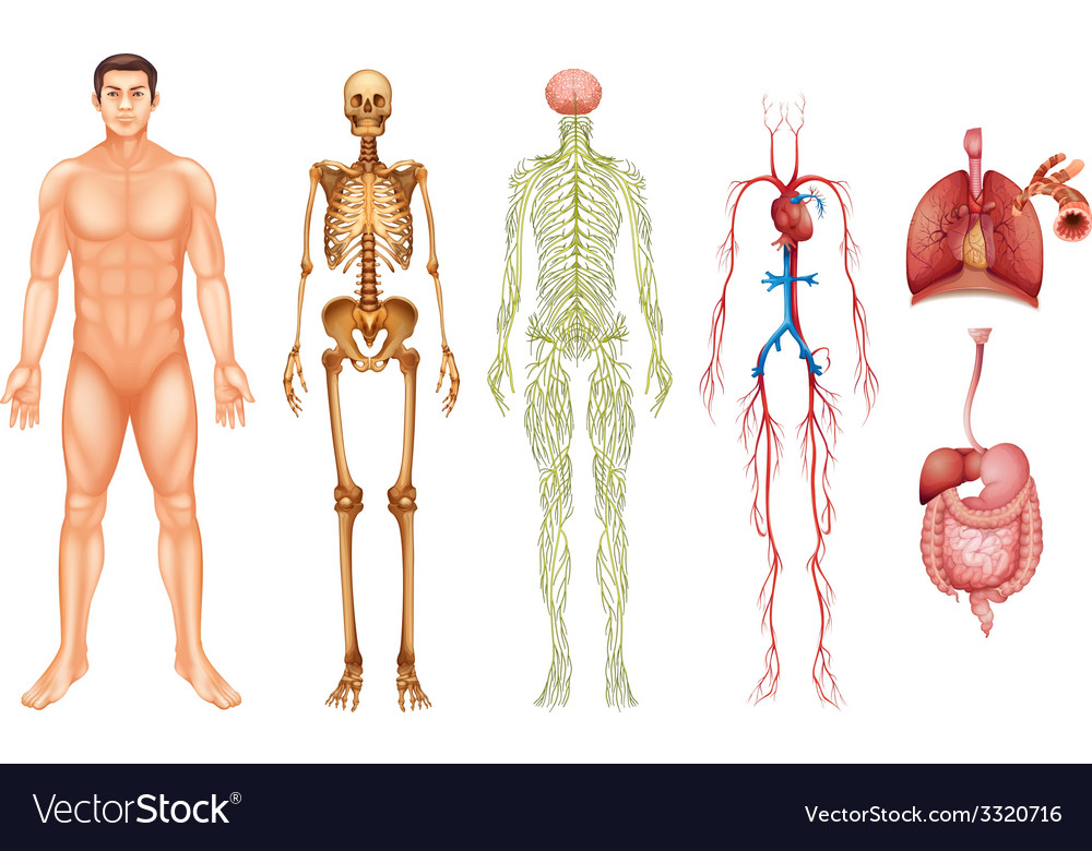 Human Body Systems Vector Image On Vectorstock