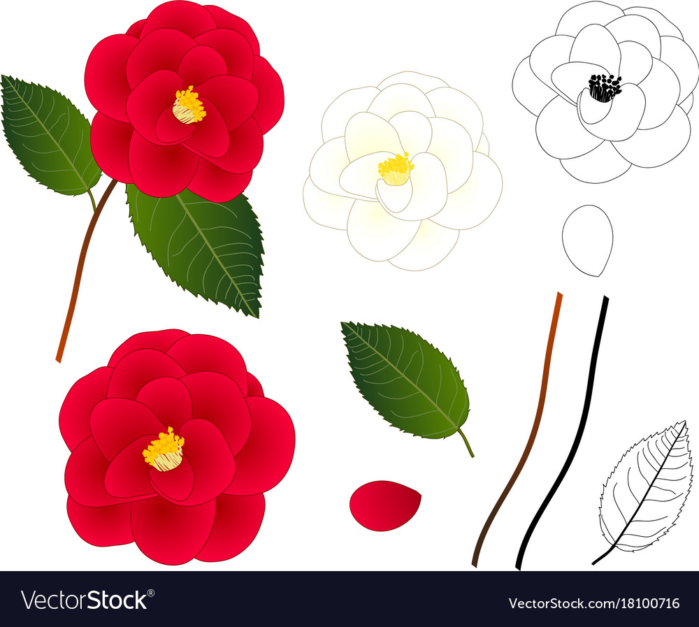 White And Red Camellia Flower Outline Royalty Free Vector