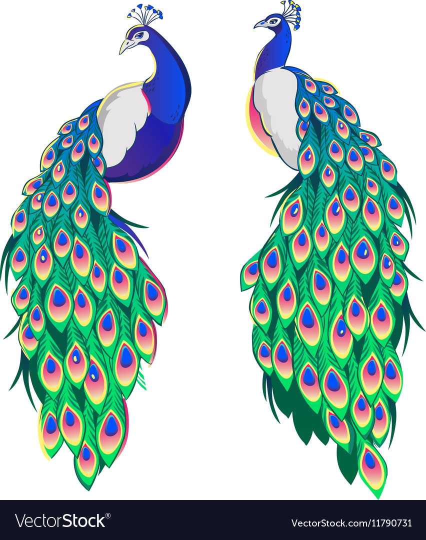 Set of two peacocks isolated on white background
