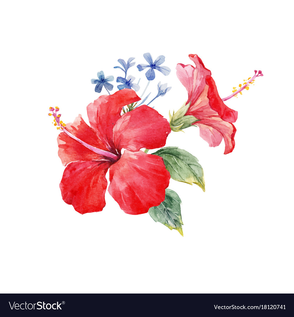 Watercolor Hibiscus Composition Royalty Free Vector Image