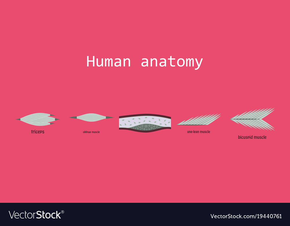 Types of muscle tissue of human body diagram Vector Image