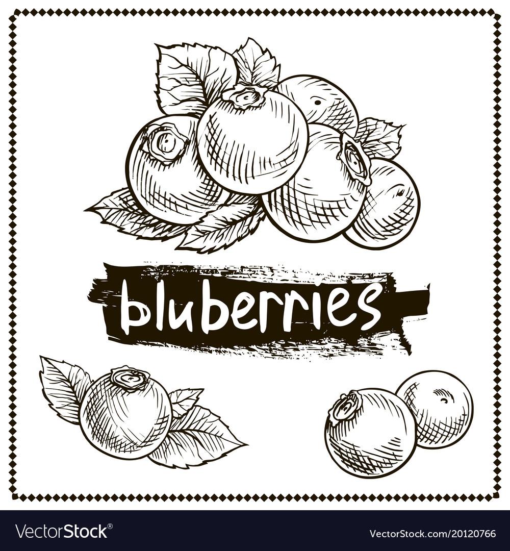 Blueberry hand drawn set