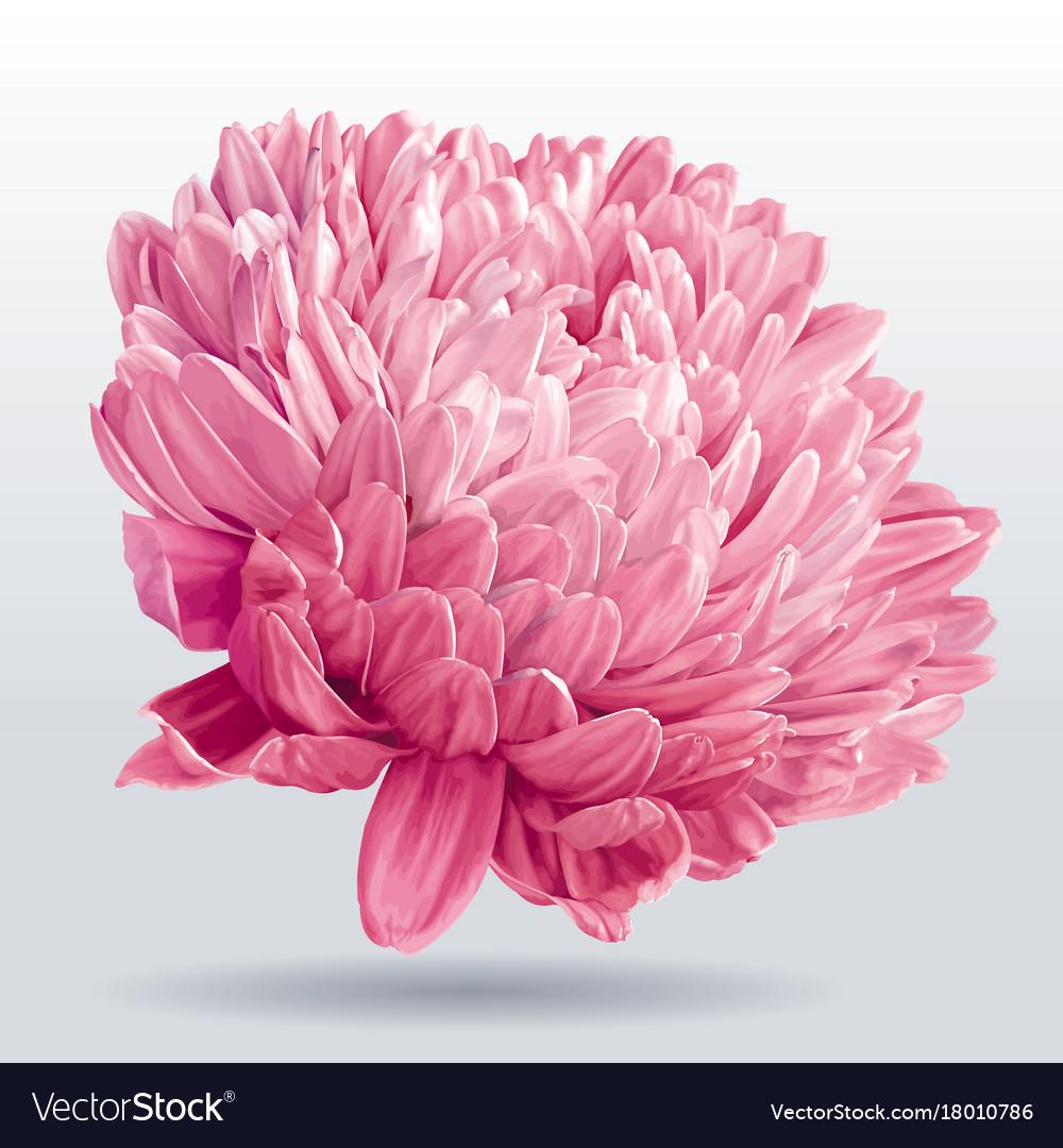 Luxurious pink aster flower