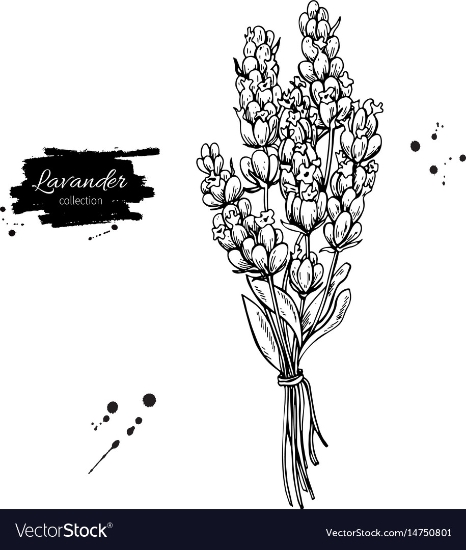 Lavender drawing set isolated wild flower