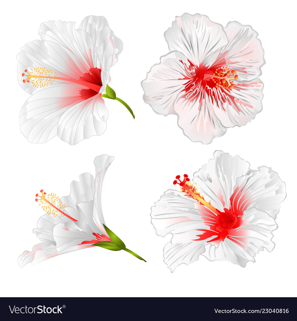 Hibiscus White Flowers Tropical Plants Royalty Free Vector