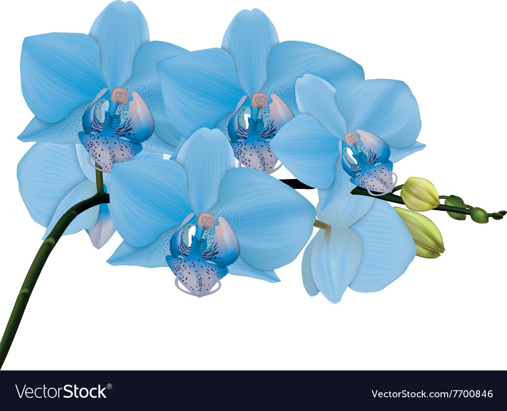 Blue Orchid Branch With Buds Royalty Free Vector Image