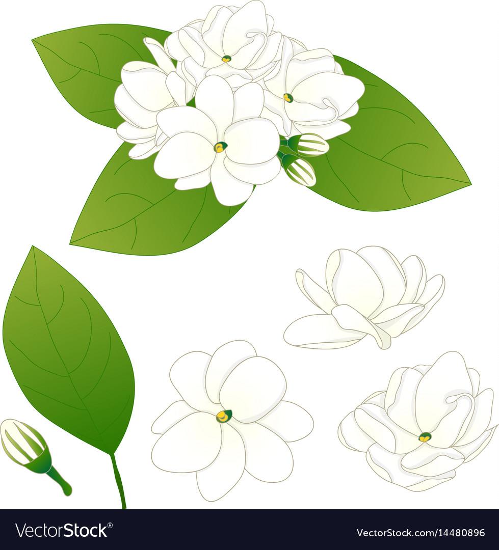 Jasminum sambac arabian jasmine royalty free vector image jasminum sambac arabian jasmine vector image izmirmasajfo