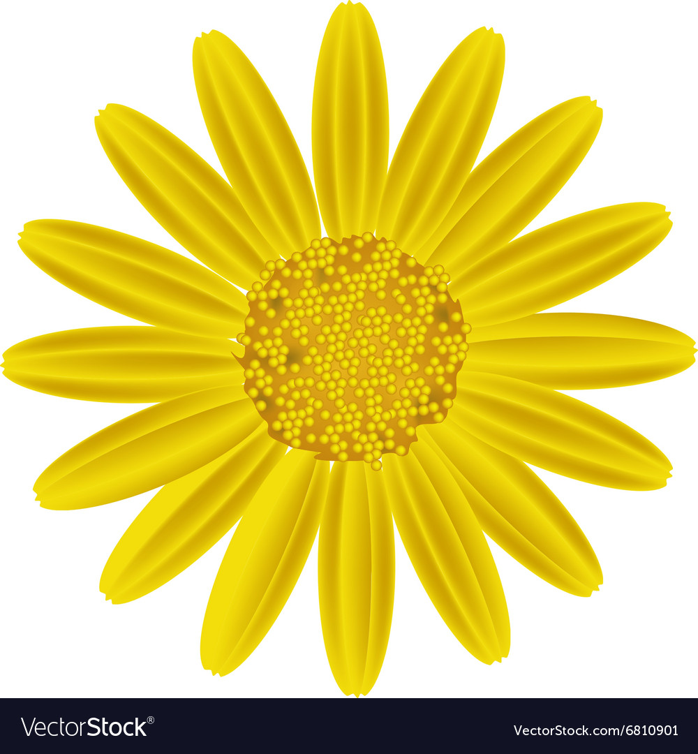 Yellow Daisy Flower On A White Background Vector Image