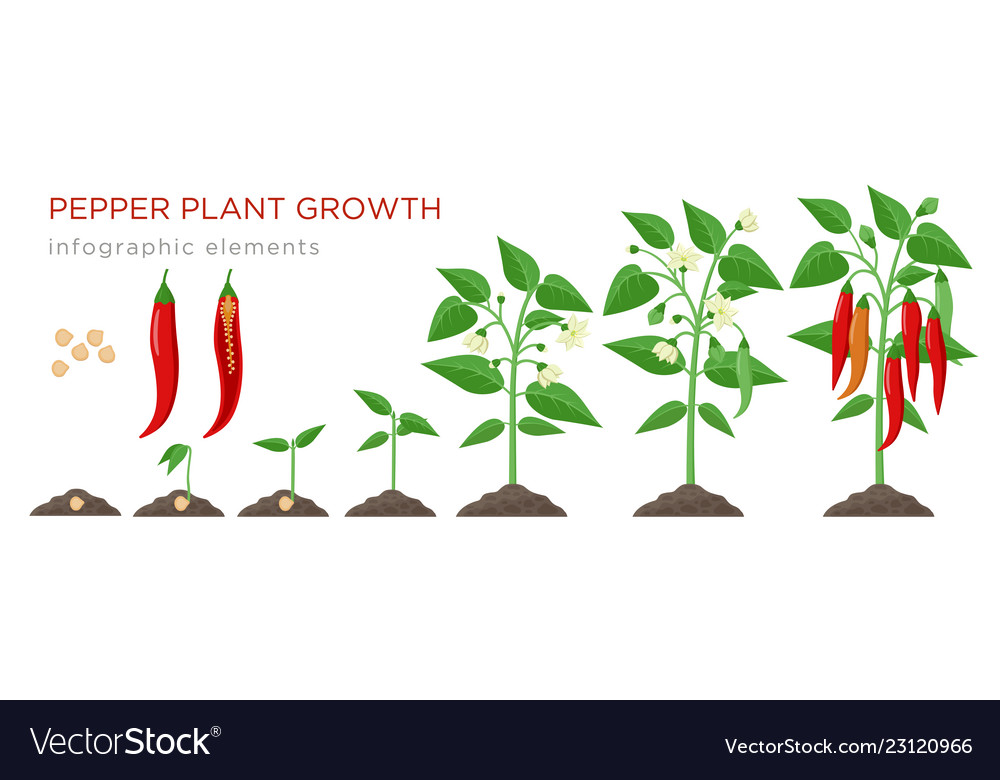 Chilli pepper plant growth stages infographic