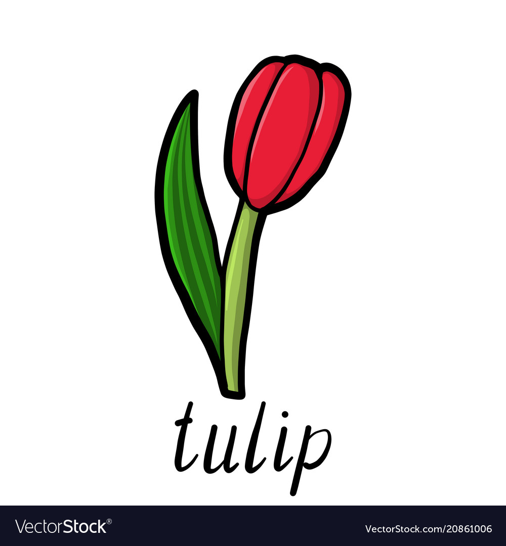 Flower red tulip