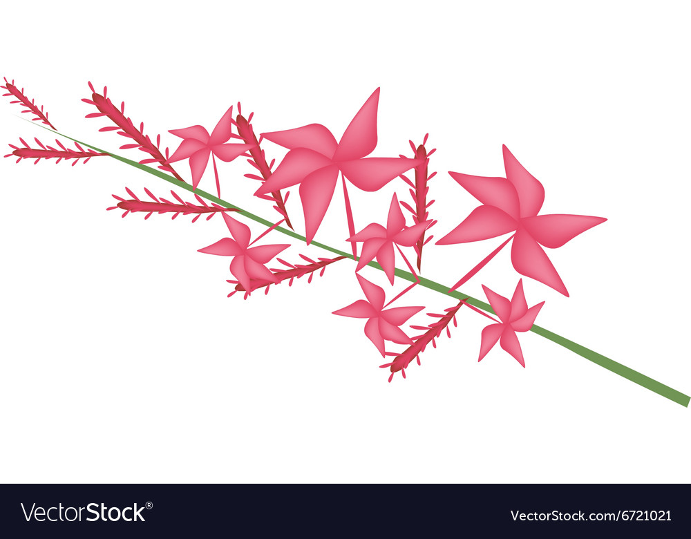 Red Plumbago Indica Flower or Red Plumbago Flower vector image