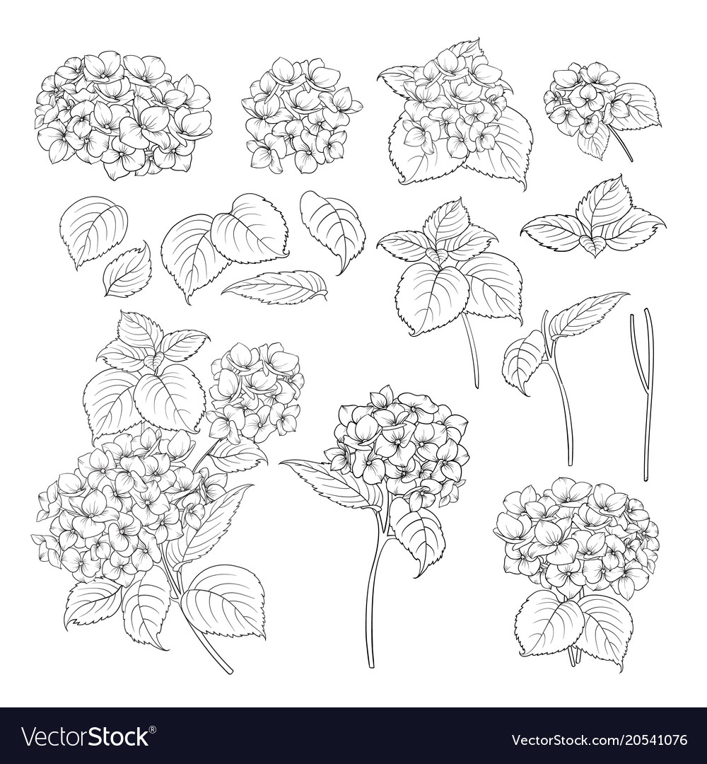 Black contour of hydrangea