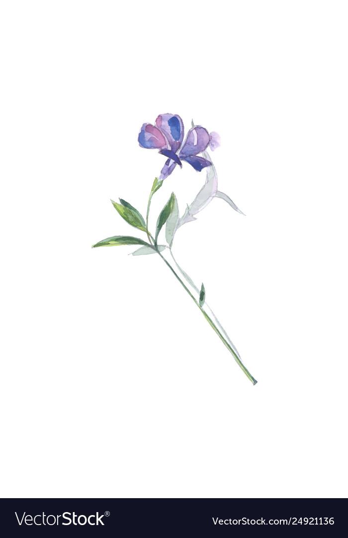Blue flower lesser periwinkle vinca minor