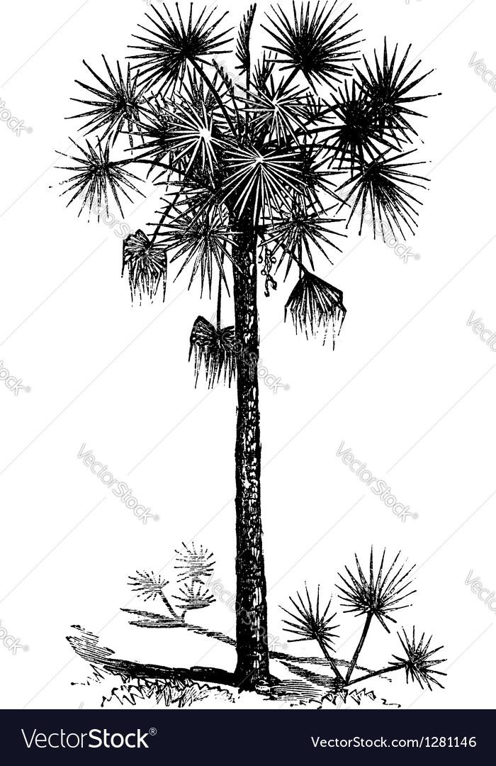 Cabbage Palm vintage engraving