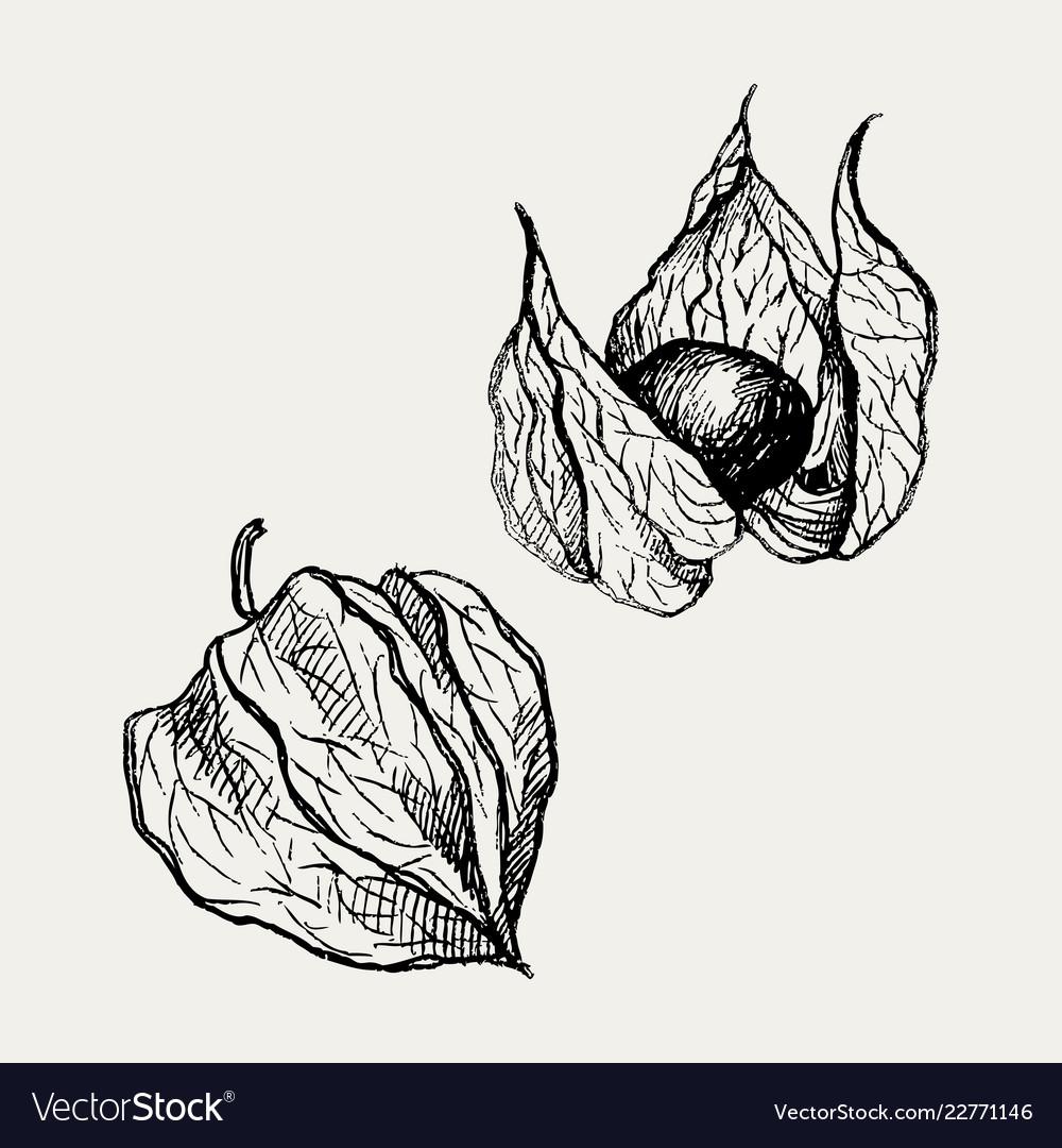 Physalis fruit drawing golden berry sketch