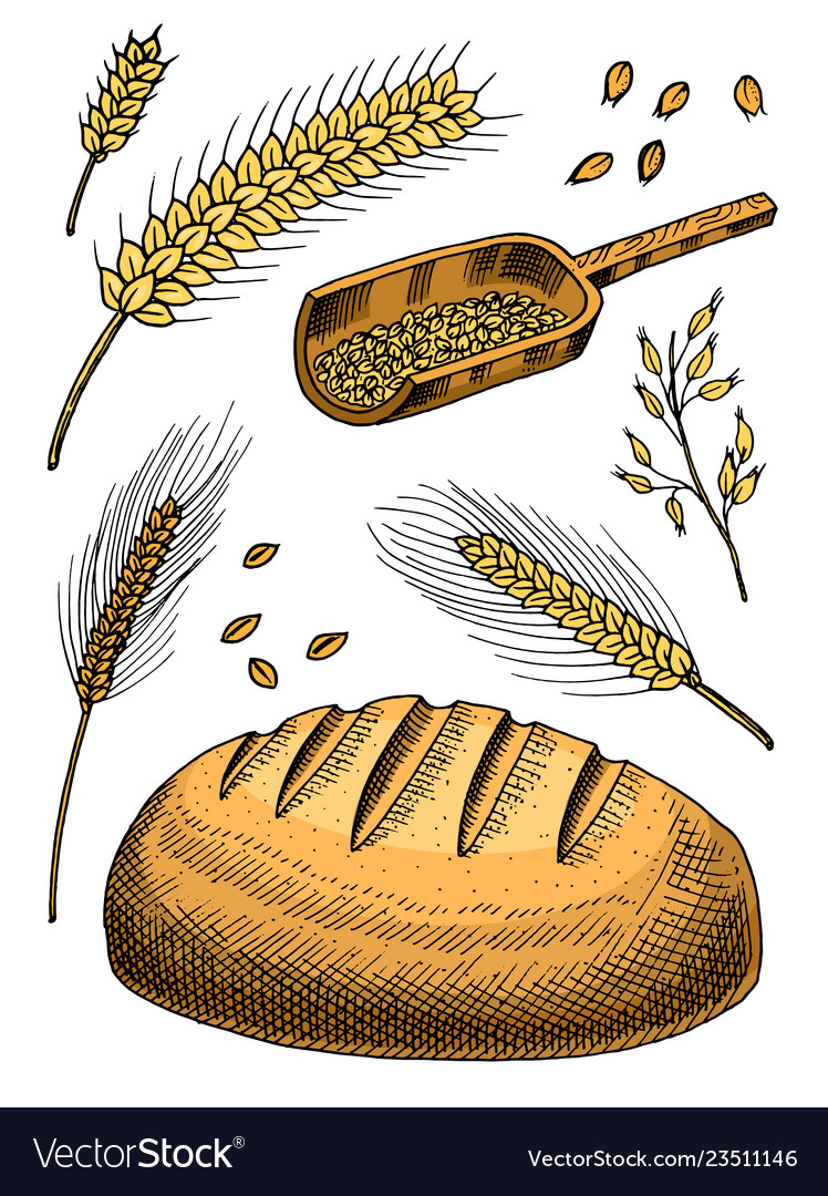 Set of wheat rye spikelets and corn seeds for