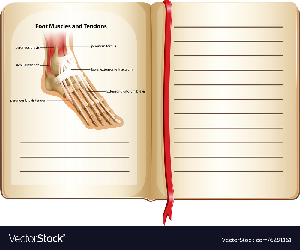 Foot Muscles And Tendons On Page Royalty Free Vector Image