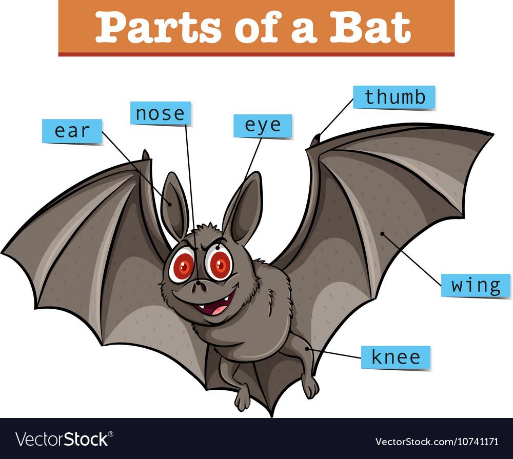 little brown bat diagram wiring block diagram Bat Diagram to Label diagram showing parts of bat royalty free vector image little brown bat information little brown bat diagram