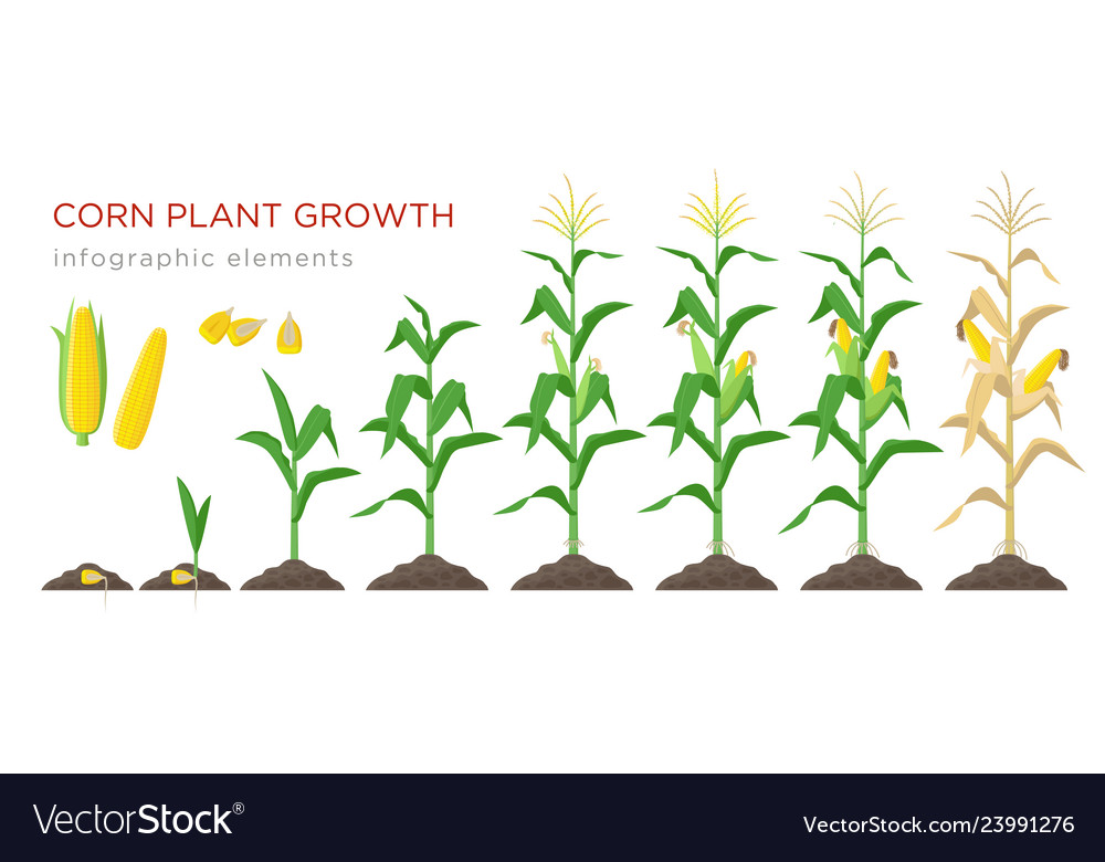 Corn growing stages in flat