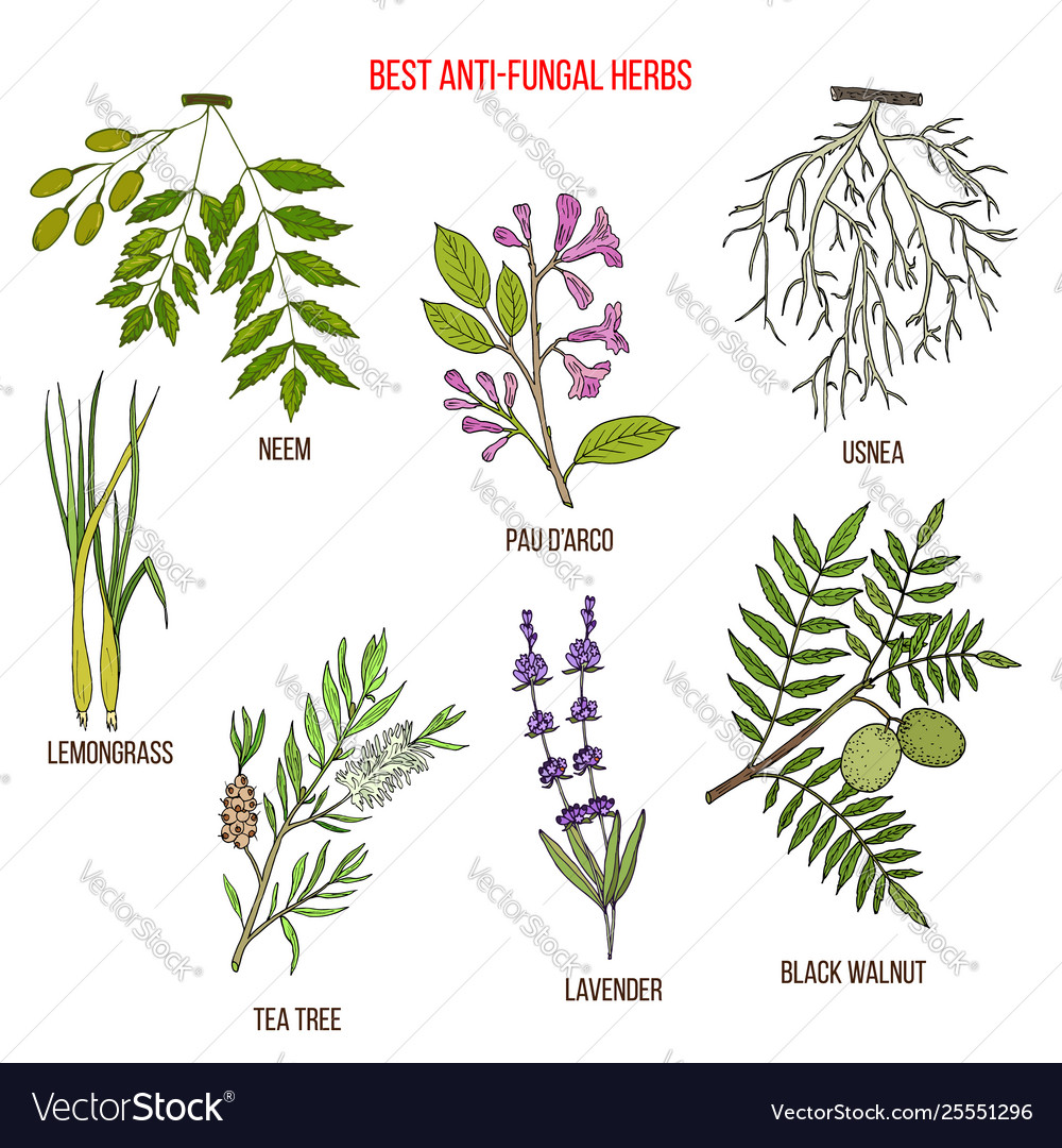 why anti fungal herbs