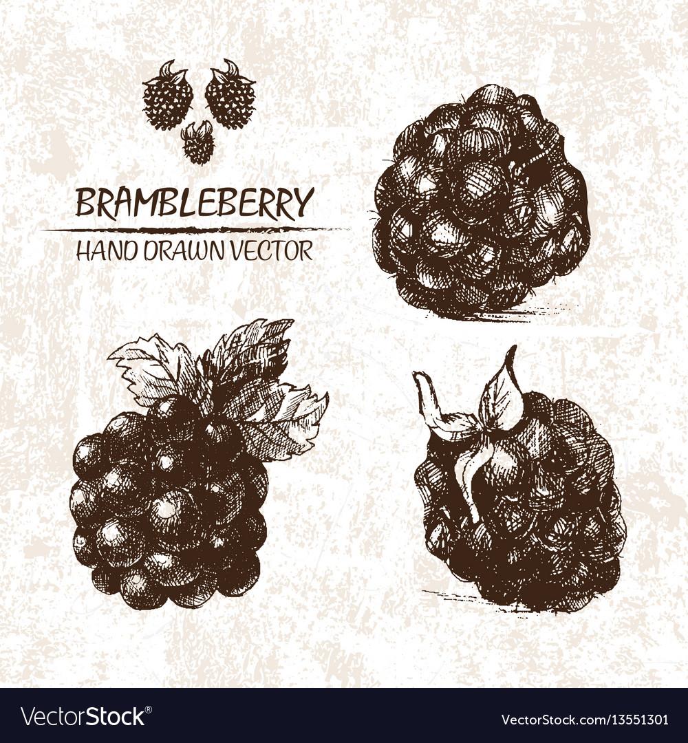 Digital detailed brambleberry hand drawn vector image