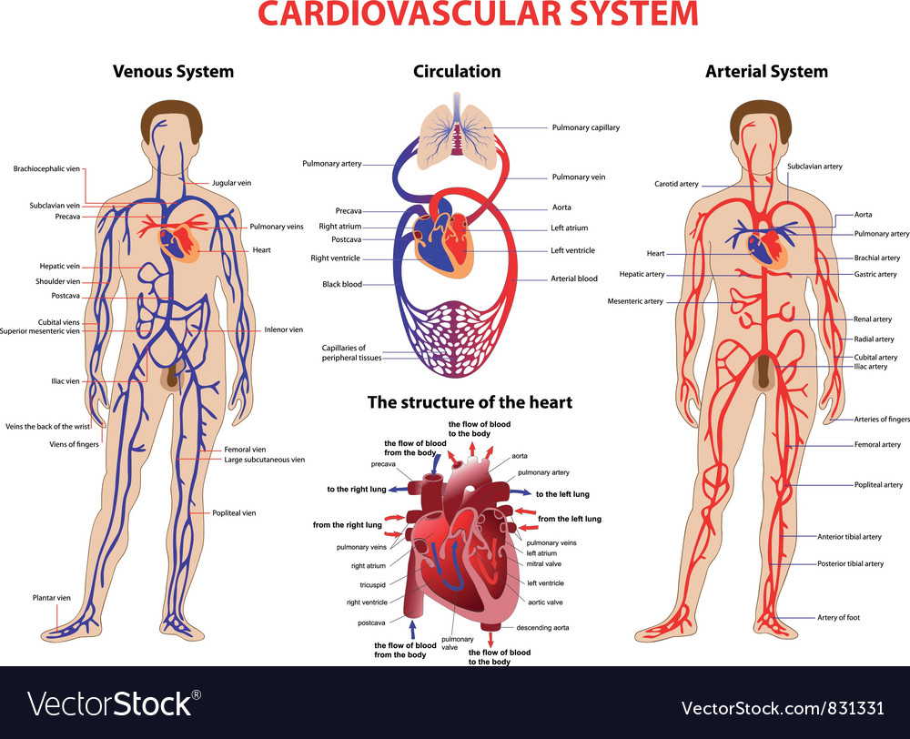 cardiovascular system royalty free vector image
